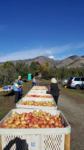 Volunteers gleaned 100 boxes of apples at a Cashmere orchard, thanks to the kindness of the owners.