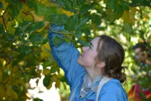 A volunteer picks apples at a gleaning event in Cashmere